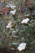 Sølvsnerlen Convolvulus cneorum, meget sød og rigtblomstrende - og så bladfarven.