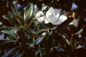 Magnolia grandiflora, får knap svidninger af frostsol mere efter 3-4 år.