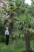 En hel lille skov af hørpalmen Trachycarpus fortunei i Botanisk Have København.
