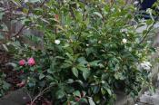 Ackerman-hybrider 12. januar, den rosa Winters Joy og hvide Snow Flurry.
