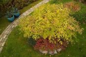 Samme plante om efteråret, underplantet med blyrod, Ceratostigma plumbaginoides