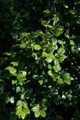Glinsende blade på den vilde Camellia japonica.