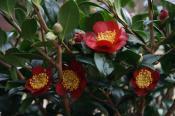 Yuletide blomstrede uden nævneværdig at skade på blomsterne uafbrudt fra juleaften 2007 til langt ind i marts 2008.