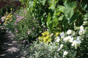 Ude hele året: Fra højre er den hvide en cistus, den pinkfarvede med grå blade en phlomis, den gulgrønne en choisya, den lysviolette en cistus og længst væk den gule Phlomis fruticosa -  i lunt, tørt bed langs en husmur.